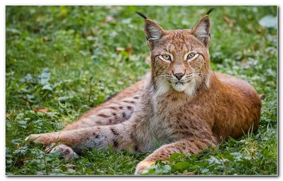 Image Wilderness Leopard Felidae Lion Fauna