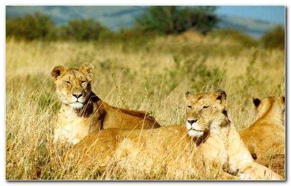 Image Wilderness Lion Grazing Safari Wildlife