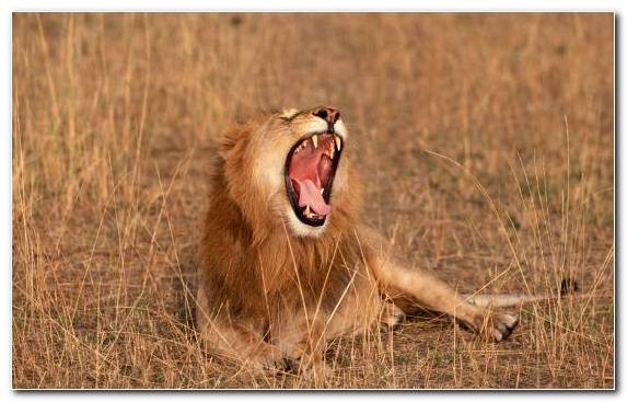 Image Wilderness Lion Masai Lion Grassland Facial Expression