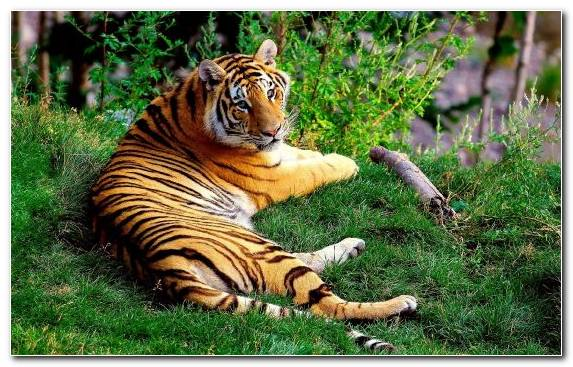 Image Wilderness Mammal Wildlife Animal Tiger