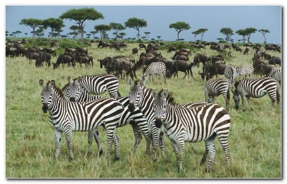 Image wilderness savanna wildlife zebra grazing