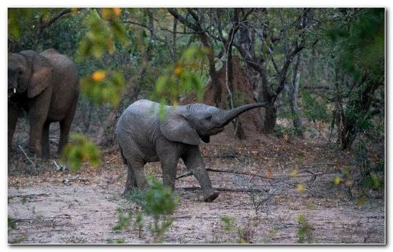 Image wilderness terrestrial animal elephant nature reserve african elephant