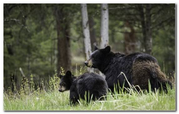 Image Wilderness Yellowstone National Park Nature Reserve Mammal American Black Bear