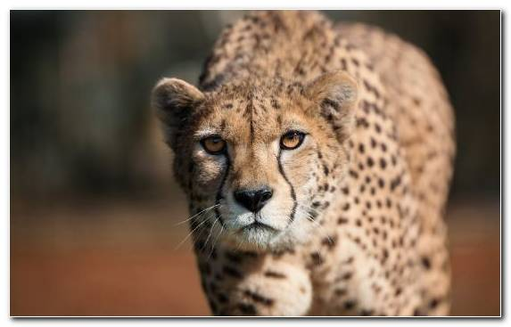 Image Wildlife Animal Big Cat Whiskers Cheetah