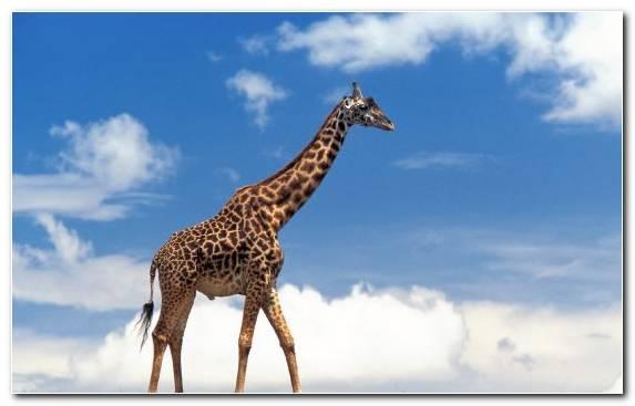 Image wildlife animal giraffe giraffidae maasai mara