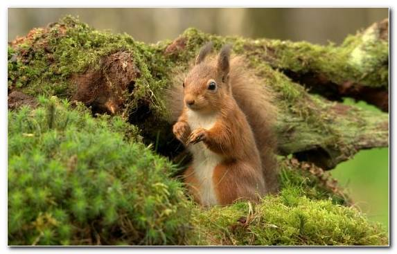 Image Wildlife Animal Grasses Fox Squirrel Snout