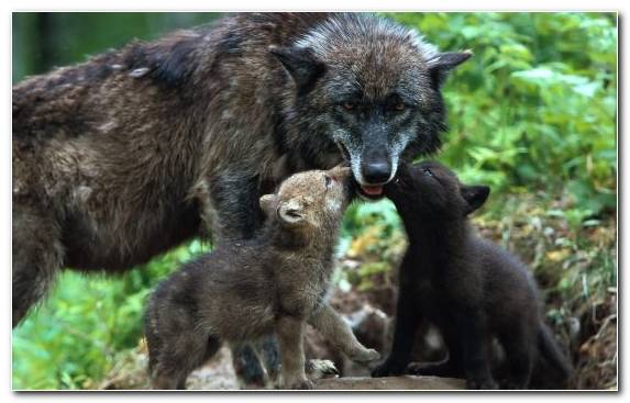 Image Wildlife Animals Babies Wolves Family