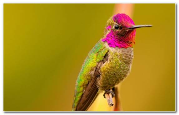 Image Wildlife Annas Hummingbird Pierrot Hummingbird Beak