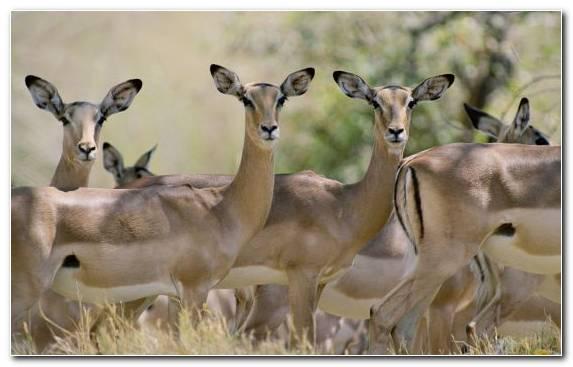Image Wildlife Antelope Herd Kudu Impala