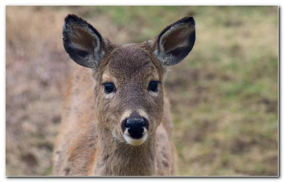 Image Wildlife Antler White Tailed Deer Snout Deer