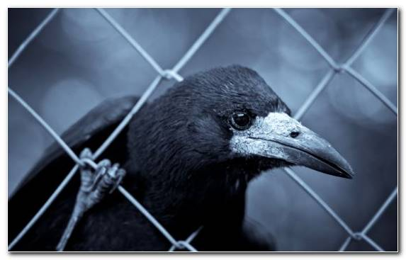 Image Wildlife Beak Bird Rook Black And White