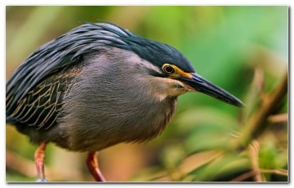 Image wildlife beak heron owl bird