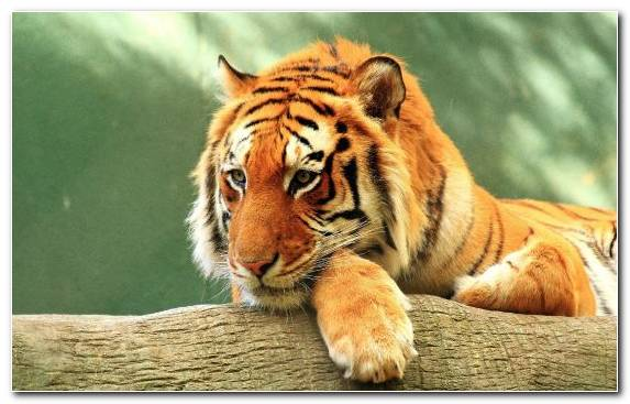 Image wildlife bengal tiger whiskers golden tiger big cats