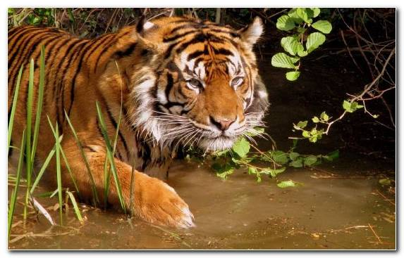 Image Wildlife Big Cat Endangered Species Indochinese Tiger Snout