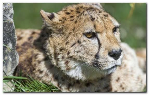 Image wildlife big cat snout moustache jaguar