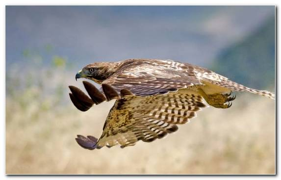 Image Wildlife Bird Beak Red Tailed Hawk Hummingbird