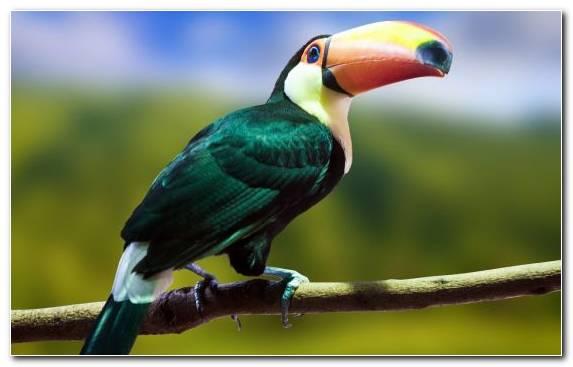 Image Wildlife Bird Perico Toucan Piciformes