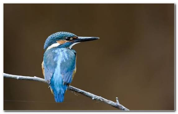 Image Wildlife Bluebird Coraciiformes Beak Pierrot