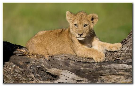 Image Wildlife Cat Puma Masai Lion East African Lion