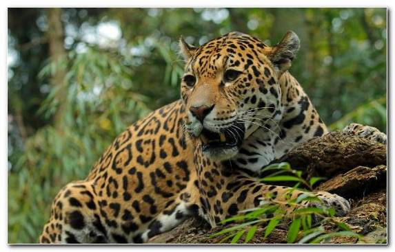 Image Wildlife Cat Wildcat Big Cats Leopard