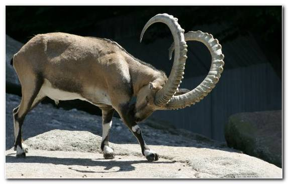 Image Wildlife Cattle Like Mammal Terrestrial Animal Walia Ibex Zoo