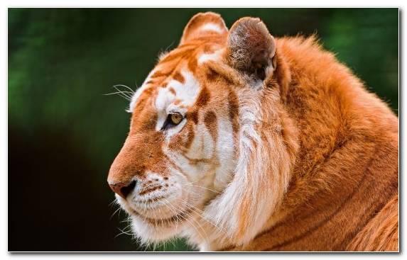 Image Wildlife Chapter Eye Jaguar Tiger