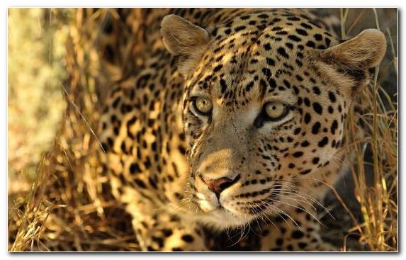 Image Wildlife Cheetah Wilderness Leopard Whiskers