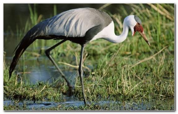Image Wildlife Ciconiiformes Marabou Stork Heron Crane Like Bird