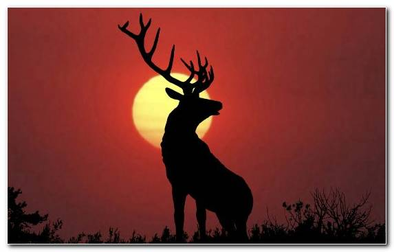Image Wildlife Deer Antler Sky White Tailed Deer