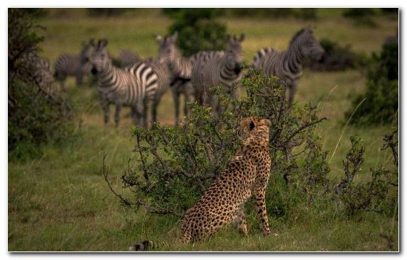 Image Wildlife Desert Grazing Savanna Cheetah