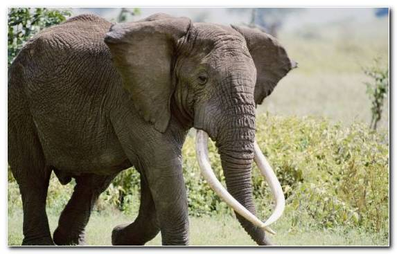 Image Wildlife Fauna Elephants And Mammoths Indian Elephant African Elephant
