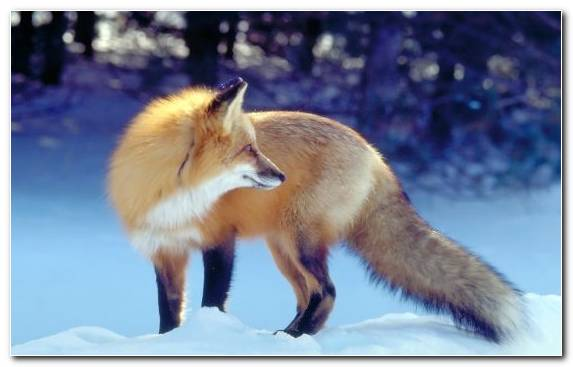 Image wildlife fauna mammal snout red fox