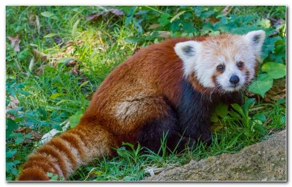 Image Wildlife Fauna Red Panda Snout Bear