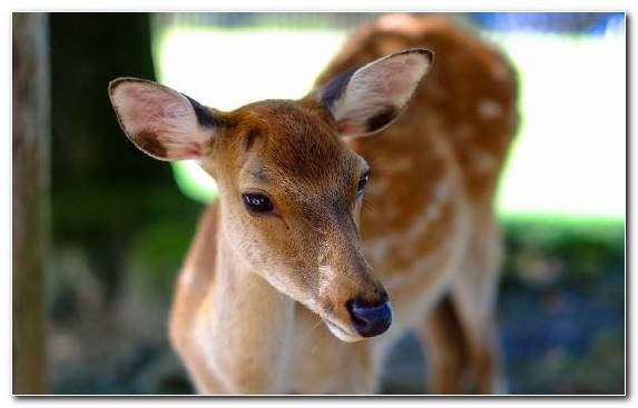 Image Wildlife Fawn Snout Terrestrial Animal White Tailed Deer