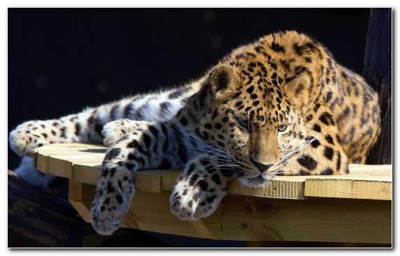 Image Wildlife Felidae Jaguar Siberian Tiger Javan Tiger