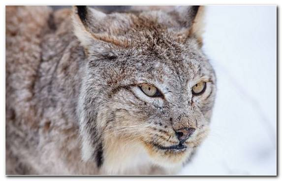 Image wildlife fur mammal fauna small to medium sized cats