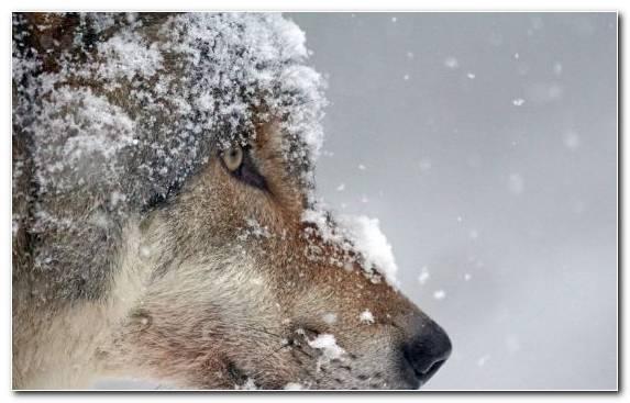 Image Wildlife Fur Snow