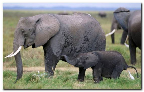 Image wildlife grass indian elephant african elephant terrestrial animal