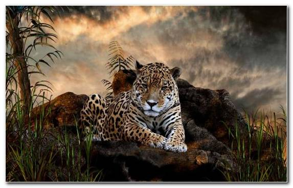 Image Wildlife Grasses Grass Jaguar Dog