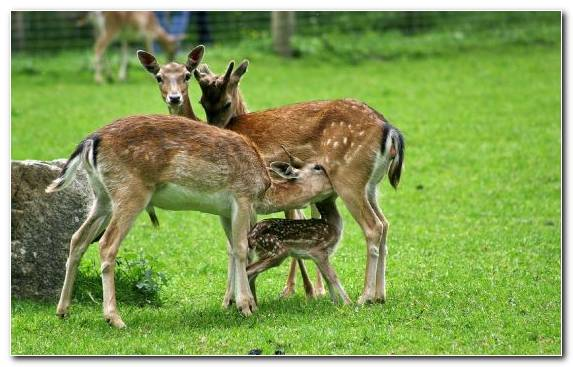 Image Wildlife Grazing White Tailed Deer Fauna Terrestrial Animal