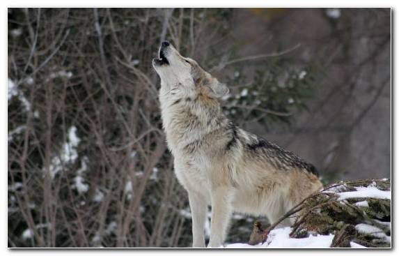 Image wildlife howling forest snow