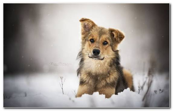 Image Wildlife Icelandic Sheepdog Dog Breed Group Dog Like Mammal Wolfdog
