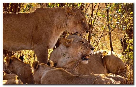 Image Wildlife Kitten Tiger Masai Lion Family