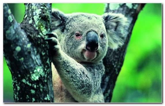 Image Wildlife Koala Tree Snout Wombat