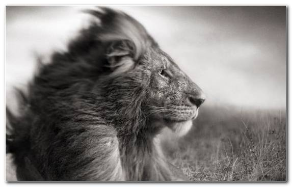 Image Wildlife Lion Fauna Monochrome Photography White Lion