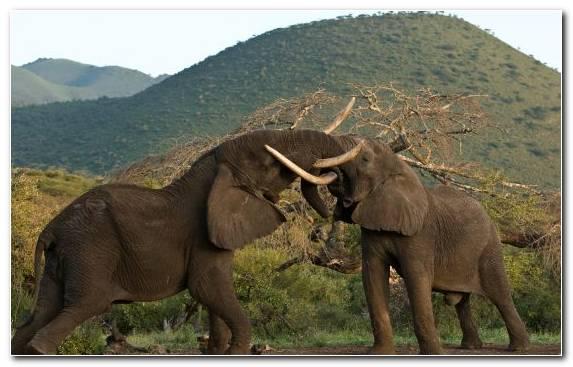 Image Wildlife Maasai Mara Serengeti Safari Tusk