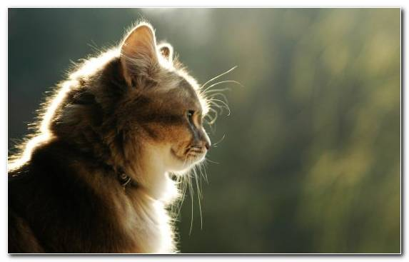 Image Wildlife Mammal Maine Coon Cat Fauna