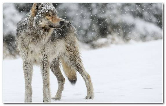 Image Wildlife Mammal Snow