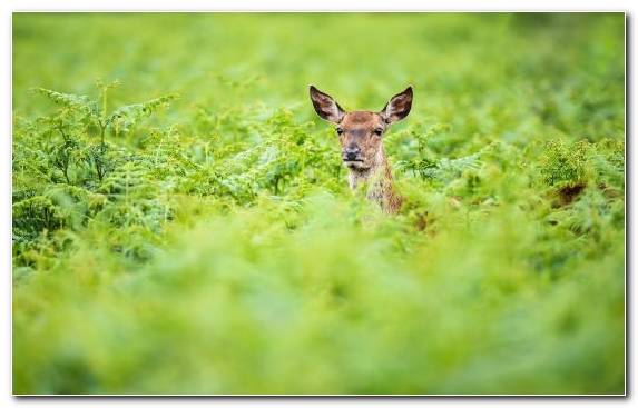 Image Wildlife Mammal Terrestrial Animal Roe Deer Nature Reserve