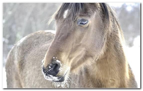 Image Wildlife Mare Friesian Horse White Mane